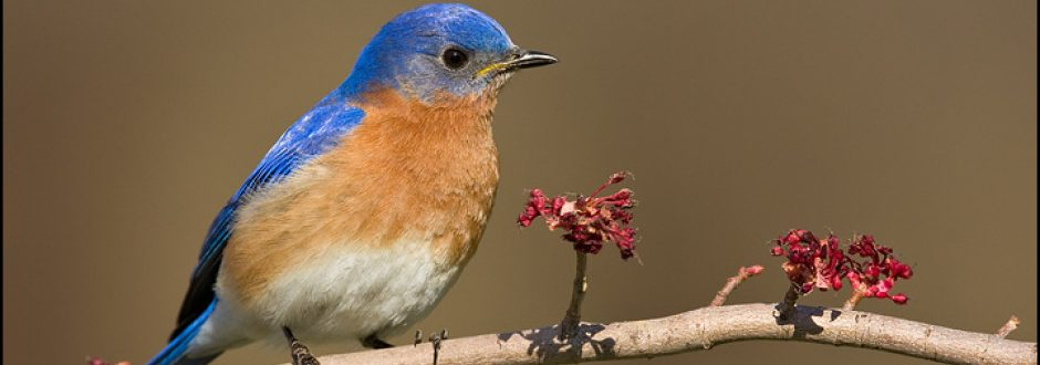 Delicieux Attracting Bluebirds In An Urban Setting | Bluebird Recovery Program Of  Minnesota