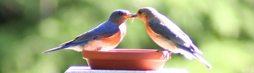 Bluebird Recovery Program of Minnesota