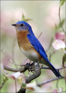 Facts on Bluebirds